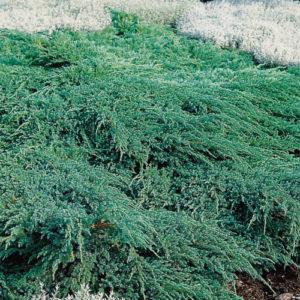 Vrtnarstvo Breskvar - Juniperus squamata Blue Carpet