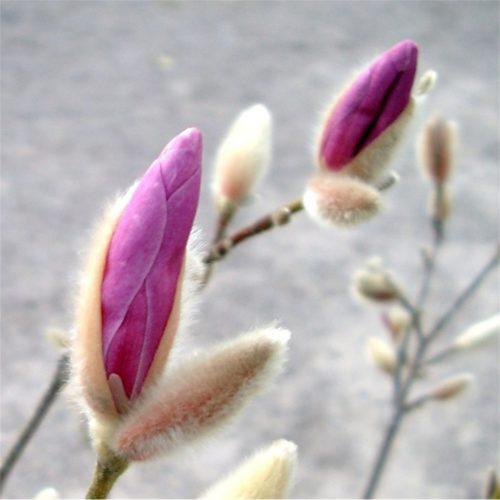 Vrtnarstvo Breskvar - Magnolia x Lobneri Leonard Messel