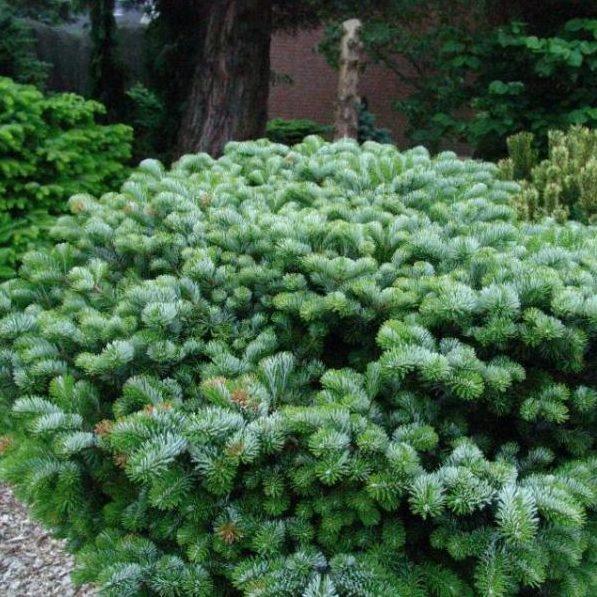 Vrtnarstvo Breskvar - Abies Veitchii Heddergott