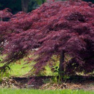 Vrtnarstvo Breskvar - Acer palmatum Crimson Queen