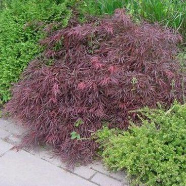 Vrtnarstvo Breskvar - Acer palmatum Dissectum Nigrum