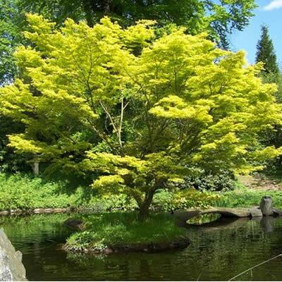 Vrtnarstvo Breskvar - Acer palmatum Jordan