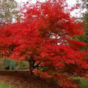 Vrtnarstvo Breskvar - Acer palmatum Osakazuki