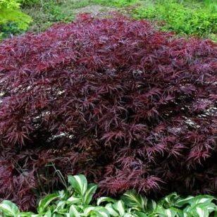 Vrtnarstvo Breskvar - Acer palmatum Red Dragon