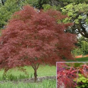 Vrtnarstvo Breskvar - Acer palmatum Red Pygmy