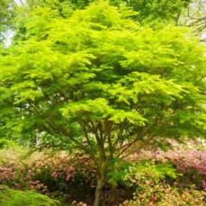 Vrtnarstvo Breskvar - Acer palmatum Seiryu