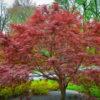 Vrtnarstvo Breskvar - Acer palmatum Sherwood Flame