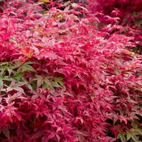 Vrtnarstvo Breskvar - Acer palmatum Shin deShojo