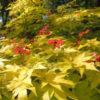 Vrtnarstvo Breskvar - Acer palmatum Summer Gold