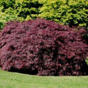 Vrtnarstvo Breskvar - Acer palmatum Tamukeyama