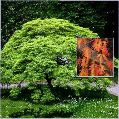 Vrtnarstvo Breskvar - Acer palmatum Viridis