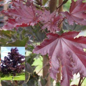 Vrtnarstvo Breskvar - Acer platanoides Crimson Sentry