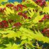 Vrtnarstvo Breskvar - Acer shirasawanum Aureum