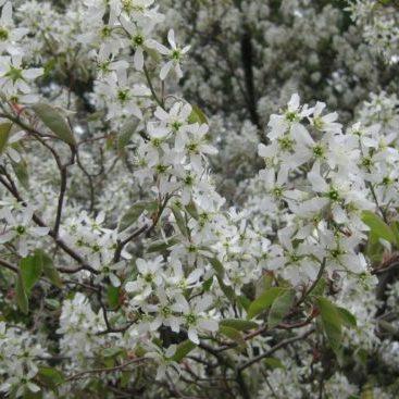 Vrtnarstvo Breskvar - Amelanchier Princess Diana