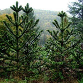 Vrtnarstvo Breskvar - Araucaria Araucana