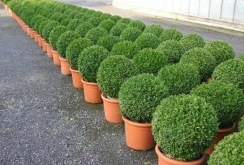 buxus sempervirens arborescens vrtnarstvo breskvar d o o. Black Bedroom Furniture Sets. Home Design Ideas