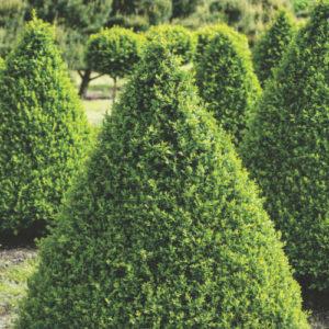 Vrtnarstvo Breskvar - Buxus Sempervirens Arborescens