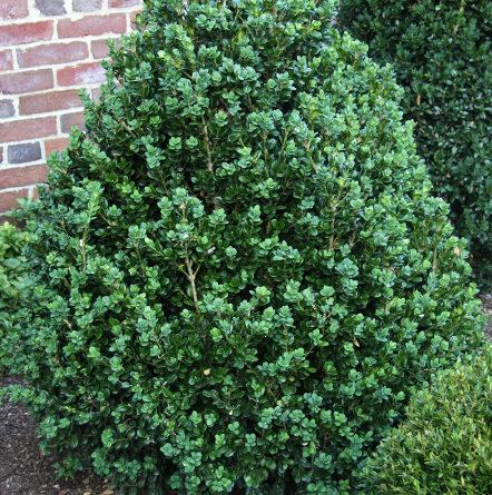 Vrtnarstvo Breskvar - Buxus sempervirens Rotundifolia