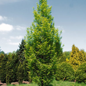 Vrtnarstvo Breskvar - Carpinus betulus Fastigiata