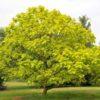 Vrtnarstvo Breskvar - Catalpa Bignonioides Aurea