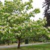 Vrtnarstvo Breskvar - Catalpa Bignonioides