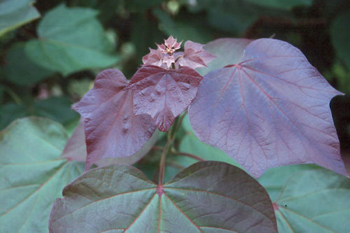 Vrtnarstvo Breskvar - Catalpa x Erubescens Purpurea