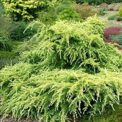 Vrtnarstvo Breskvar - Cedrus Deodara Golden Horizon