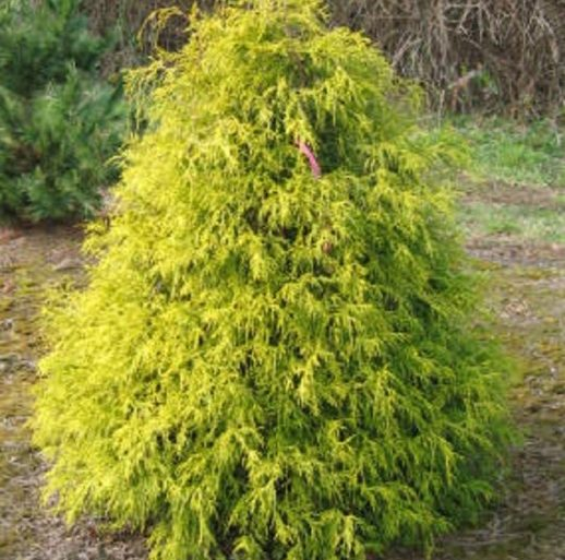 Vrtnarstvo Breskvar - Chamaecyparis Filifera Aurea