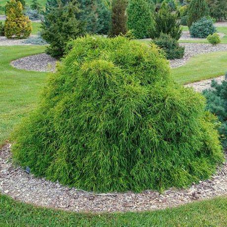 Vrtnarstvo Breskvar - Chamaecyparis Filifera Nana