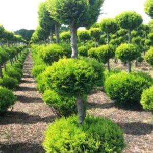 Vrtnarstvo Breskvar - Chamaecyparis lawsoniana Allumni Gold