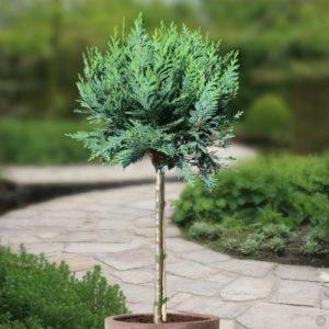 Vrtnarstvo Breskvar - Chamaecyparis lawsoniana Columnaris
