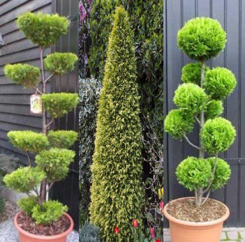 Vrtnarstvo Breskvar - Chamaecyparis lawsoniana Stardust