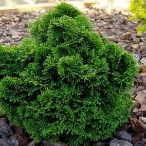 Vrtnarstvo Breskvar - Chamaecyparis Nana Gracilis