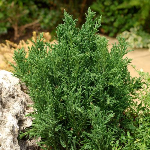 Vrtnarstvo Breskvar - Chamaecyparis Obtusa Draht