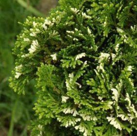 Vrtnarstvo Breskvar - Chamaecyparis Obtusa Tonia