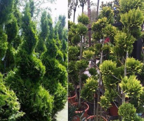 Vrtnarstvo Breskvar - Chamaecyparis lawsoniana Ivonne