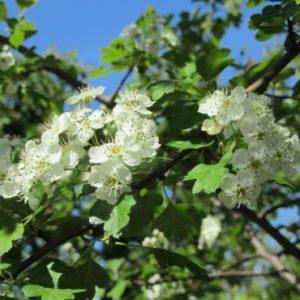 Vrtnarstvo Breskvar - Crataegus Monogyna