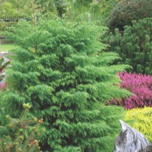 Vrtnarstvo Breskvar - Cryptomeria Japonica Elegans Viridis