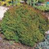 Vrtnarstvo Breskvar - Cryptomeria Japonica Vilmoriniana