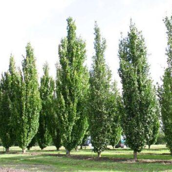 Vrtnarstvo Breskvar - Fagus sylvatica Dawyck