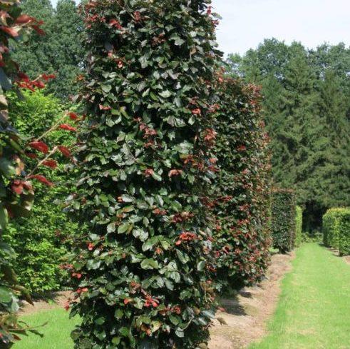 Vrtnarstvo Breskvar - Fagus sylvatica Purpurea Latifolia