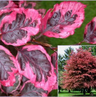 Vrtnarstvo Breskvar - Fagus sylvatica Purpurea Tricolor