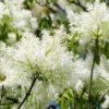 Vrtnarstvo Breskvar - Fraxinus ornus