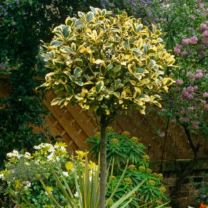 Vrtnarstvo Breskvar - Ilex aquifolium Golden King