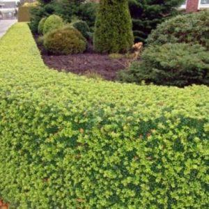 Vrtnarstvo Breskvar - Ilex crenata