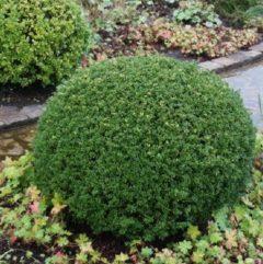 Vrtnarstvo Breskvar - Ilex crenata Glory Gem
