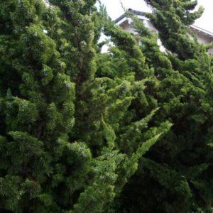Vrtnarstvo Breskvar - Juniperus Chin Kaizuka