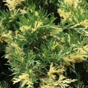 Vrtnarstvo Breskvar - Juniperus Chinensis Expansa Variegata