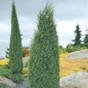 Vrtnarstvo Breskvar - Juniperus Comm Hibernica