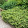 Vrtnarstvo Breskvar - Juniperus Communis Repanda